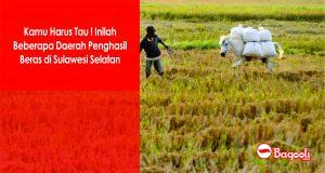 Kamu Harus Tau ! Inilah Daerah-Daerah Penghasil Beras di Sulawesi Selatan
